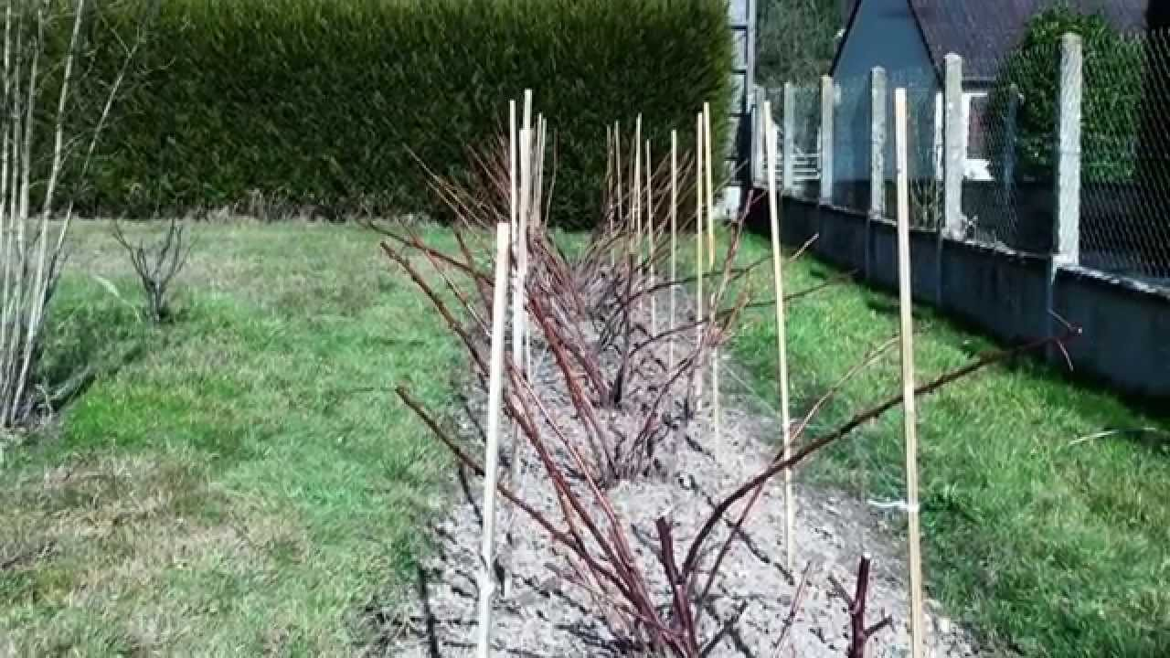 Comment planter des framboisiers - Comment planter des framboisiers ...